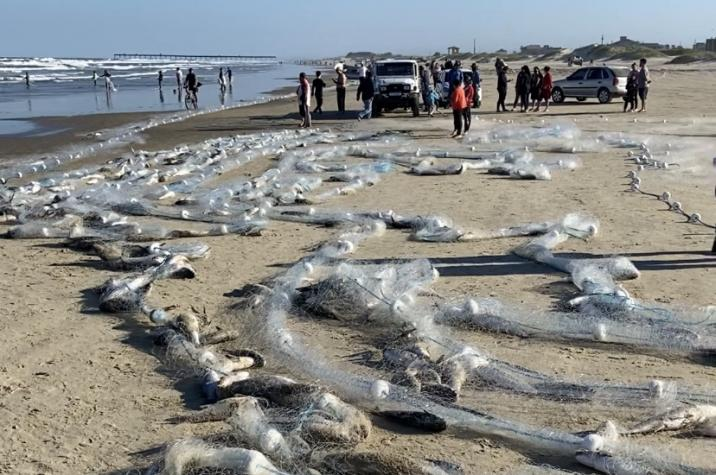 Pescadores capturam cinco toneladas de tainha no Balneário Rincão
